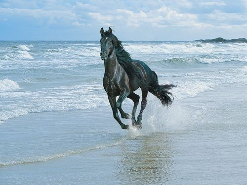 Black andalusian on beach